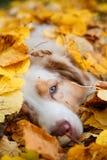 Cão no parque do outono Imagens de Stock Royalty Free