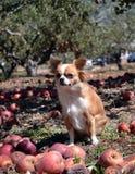 Cão no pomar Fotografia de Stock Royalty Free