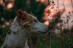 Cão no por do sol Fotos de Stock Royalty Free