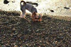 Cão no por do sol após uma tempestade que procura o alimento Foto de Stock Royalty Free