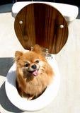 Cão no potenciômetro Fotografia de Stock