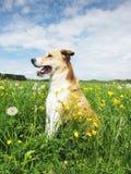 Cão no prado do dente-de-leão (50) Fotos de Stock Royalty Free