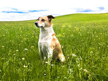 Cão no prado do dente-de-leão (145) fotografia de stock