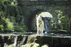 Cão no ribeiro Imagens de Stock
