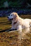 Cão no rio fotografia de stock royalty free