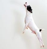 Cão no salto foto de stock royalty free