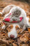 Cão no tampão nas folhas caídas Fotos de Stock
