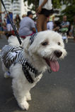 Cão no traje Rio Blocao Animal Carnival fotografia de stock royalty free