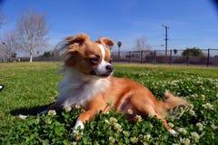 Cão no trevo Fotografia de Stock Royalty Free