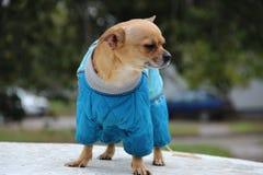 Cão nos macacões Foto de Stock Royalty Free