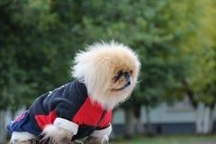 Cão nos macacões Imagem de Stock Royalty Free