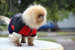 Cão nos macacões Fotografia de Stock