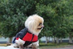 Cão nos macacões Imagens de Stock