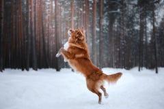 Cão Nova Scotia Duck Tolling Retriever, caminhada na floresta do inverno imagem de stock