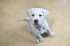 Cão novo bonito de labrador retriever com olhos grandes Fotografia de Stock Royalty Free