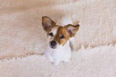 Cão novo bonito que olha a câmera com orelhas engraçadas Vista superior Fotos de Stock Royalty Free