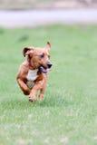 Cão novo da mistura do cão de basset que corre na grama imagem de stock royalty free