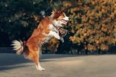 Cão novo de border collie foto de stock