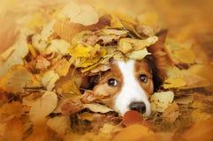 Cão novo de border collie que joga com as folhas no outono