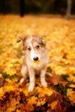 Cão novo de border collie que joga com folhas e posses um a parte de madeira no outono fotos de stock royalty free