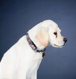 Cão novo de Labrador Imagens de Stock Royalty Free
