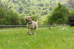 Cão novo de labrador retriever na corrida Fotos de Stock Royalty Free