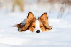 Cão novo do collie de beira na neve Imagens de Stock Royalty Free