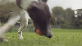 Cão novo do cão de corrida que busca a bola no parque, movimento lento