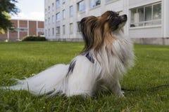 Cão novo do papillion na grama Imagens de Stock