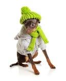 Cão novo do terrier de brinquedo isolado Fotografia de Stock