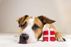 Cão novo do terrier de Staffordshire com presente pequeno bonito do vermelho Foto de Stock