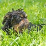 Cão, o grifo belga Foto de Stock