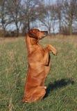 Cão obediente Imagens de Stock