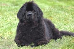 Cão obediente de Terra Nova Imagens de Stock