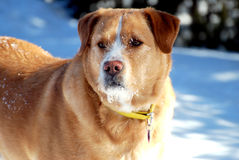 Cão observador com um Faceful da neve Imagens de Stock Royalty Free