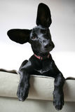 Cão orelhudo Imagem de Stock