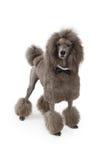 Cão padrão da caniche com laço de curva fotografia de stock royalty free