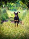 Cão para o BD Imagem de Stock