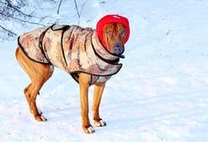 Cão para uma caminhada no inverno Imagens de Stock Royalty Free