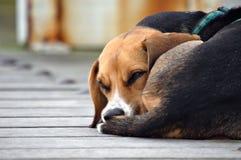 Cão parvo Foto de Stock Royalty Free
