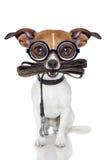 Cão parvo do crayz foto de stock