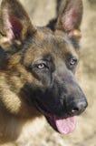 Cão-pastor Imagem de Stock