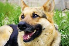 Cão-pastor alemão bonito que encontra-se na grama verde Imagens de Stock Royalty Free
