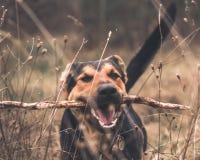 Cão-pastor alemão de jogo engraçado imagem de stock royalty free