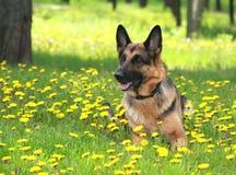 Cão, pastor alemão em um glade nos dentes-de-leão Fotografia de Stock Royalty Free