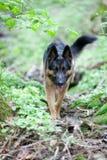 Cão-pastor alemão na opinião do frontal da floresta fotos de stock