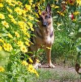 Cão, pastor alemão nas flores Imagem de Stock Royalty Free