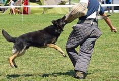 Cão-pastor alemão no treinamento Fotografia de Stock