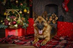 Cão-pastor alemão para o Natal Fotografia de Stock