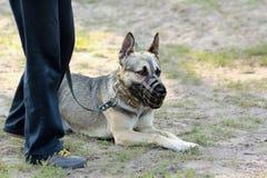 Cão-pastor alemão que encontra-se na terra, vestindo um focinho, olhando seu proprietário Foto de Stock